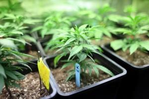 Marijuana crop greenhouse